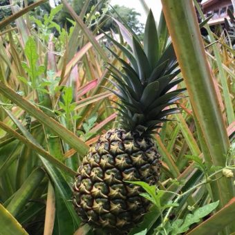 The Deliciousness of Being Slow – Lessons from a Pineapple